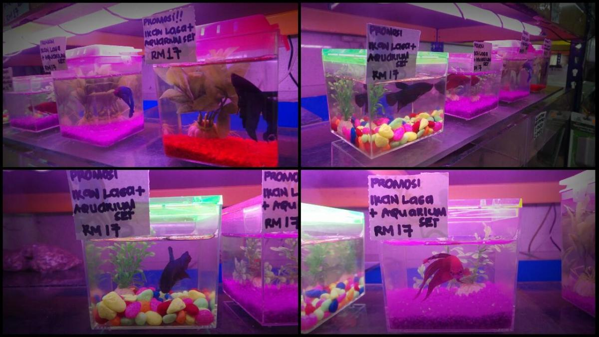 Ikan laga fighting fish sets for sale for only rm17 for Buying fish online
